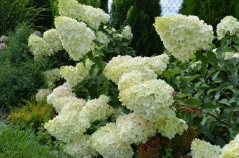 Гортензія волотиста  Полар  Бір (біла)<br>Hydrangea paniculata Polar Bear (white)<br>Гортензия метельчатая  Полар  Бир (белая)
