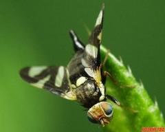 Вишнева муха