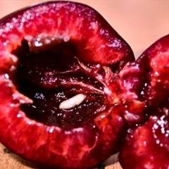 Личинка вишневої мухи