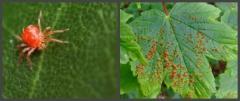 Виноградний кліщ