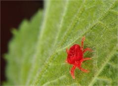 Червоний плодовий кліщ