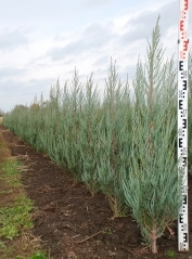 Juniperus scopolorum Skyrocket в розсаднику