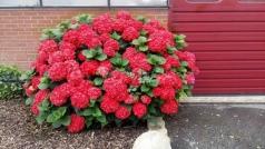 Гортензія крупнолиста Ред Барон<br>Hydrangea macrophylla Red Baron<br>Гортензия крупнолистная Ред Барон