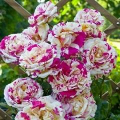 Троянда плетиста Ванілла Фрейз біколор червоно-жовт.<br>Роза плетистая Ванилла Фрейзе биколор красно-жолт.<br>Climbing rose Vanilla Freise bicolor red- yellow