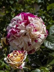Vanilla Freise rose