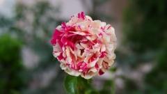 Троянда Ванілла Фрейз