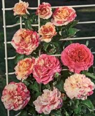 Троянда Ванілла Фрейз купити
