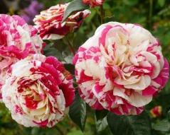Троянда Ванілла Фрейз в ландшафті