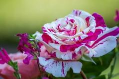 Троянда Ванілла Фрейз відгуки