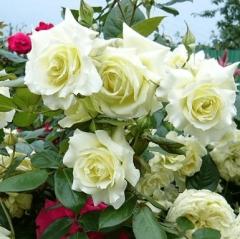 Троянда плетиста Ельф зел.-біла<br>Роза плетистая Эльф зел.-белая<br>Climbing rose Elf green-white