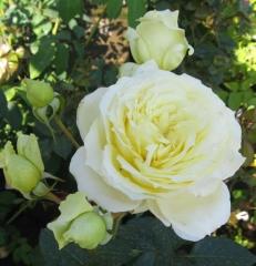 Elf rose