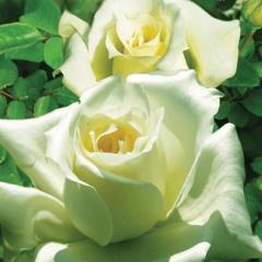 Троянда Ельф