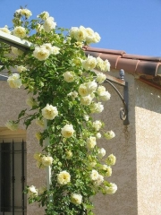Троянда Ельф купити