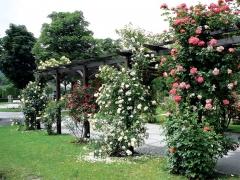 Троянда Ельф в ландшафті