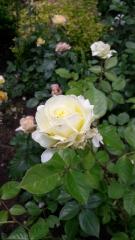 Троянда Ельф відгуки