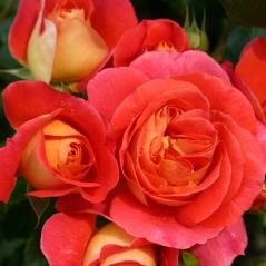 Троянда флорібунда Брати Грімм помаранчева<br>Роза флорибунда Братья Гримм оранжевая<br>Floribunda rose Gebruder Grimm orange
