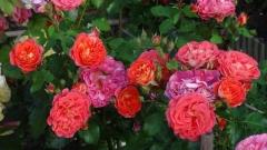 Gebruder Grimm rose