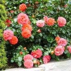 Троянда Брати Грімм купити