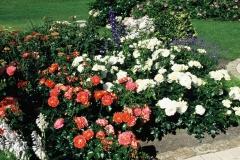 Троянда Брати Грімм в ландшафті