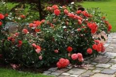 Троянда Брати Грімм відгуки