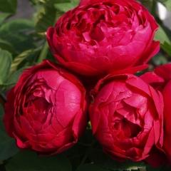 Троянда чайно-гібридна Аскот червона<br>Роза чайно-гибридная Аскот красная<br>Hybrid tea rose Ascot red