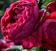 Троянда Аскот