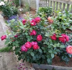 Троянда Аскот в ландшафті