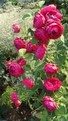 Троянда Аскот відгуки
