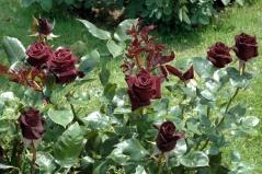 Троянда Блек Баккара купити