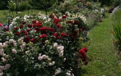 Троянда Блек Баккара в ландшафті