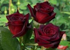 Троянда Блек Баккара відгуки