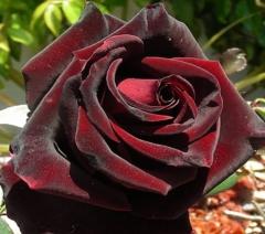 Троянда Блек Меджик