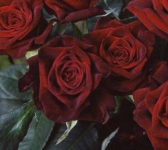 Троянда Блек Меджик купити