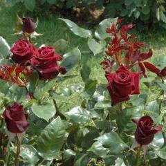 Троянда Блек Меджик в ландшафті