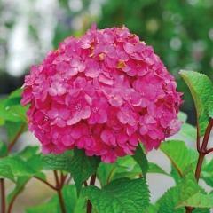 Hydrangea Endless Summer / Bloom Star