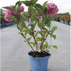 Hydrangea macrophylla Bloom Star