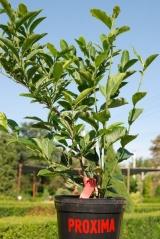 Magnolia hibrids Betty