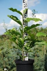 Magnolia hybrids Betti