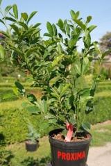 Magnolia hibrida 'Betty'