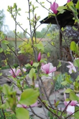 Магнолия 'George Henry Kern' цветение