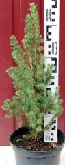 Ялина канадська Conica 40-45 см