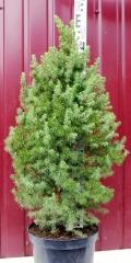 Picea glauca Conica посадка