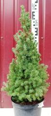 Picea Conica 60-65 см