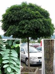 Акація / Робінія псевдоакація Умбракуліфера (куляста) <br> Акация / Робиния псевдоакация Умбракулифера (шаровидная) <br> Robinia pseudoacacia Umbraculifera