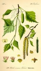 Betula Fastigiata щеплена