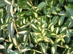 Euonymus fortunei 'Sunspot'