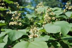 Катальпа бігнонієвидна цвіт