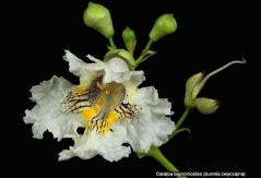 Catalpa bignonioides Катальпа бігнонієвидна