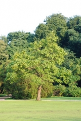 Catalpa bignonioides - Катальпа бузколиста