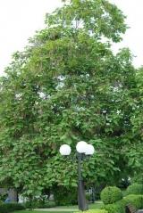 Catalpa bignonioides фото